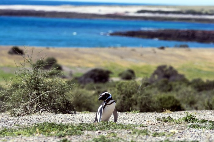 Puerto Madryn - Pinguins 09