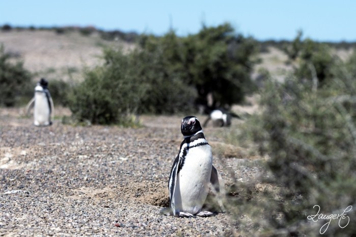 Puerto Madryn - Pinguins 12