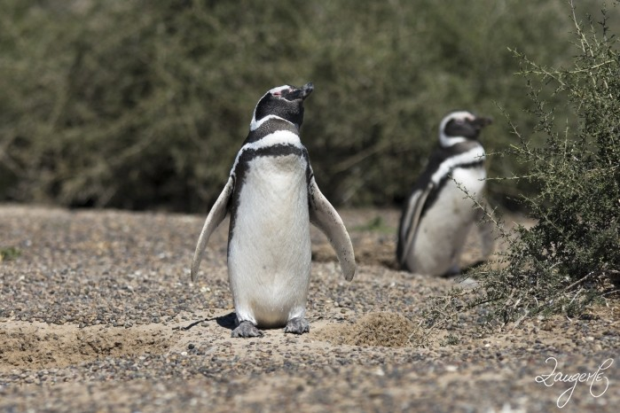 Puerto Madryn - Pinguins 13