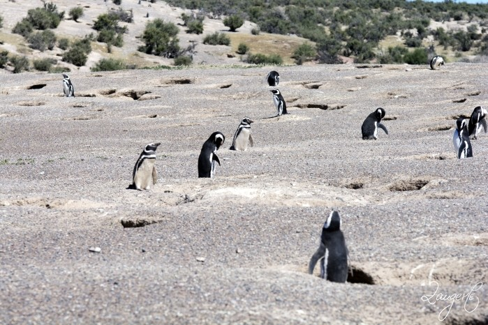 Puerto Madryn - Pinguins 16