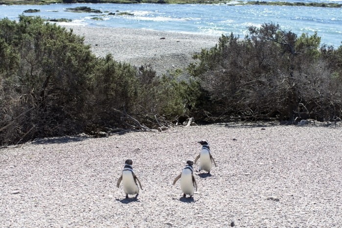 Puerto Madryn - Pinguins 17