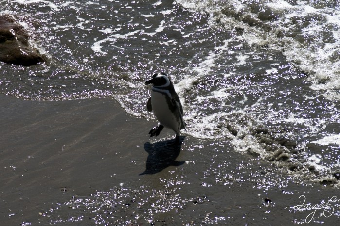 Puerto Madryn - Pinguins 19