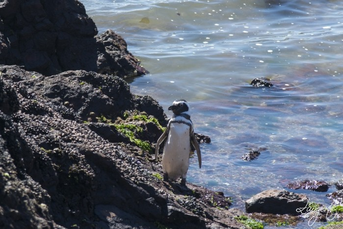 Puerto Madryn - Pinguins 21