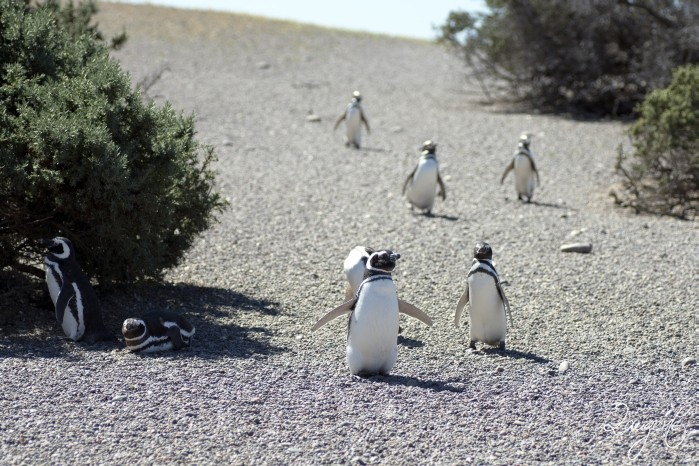 Puerto Madryn - Pinguins 27